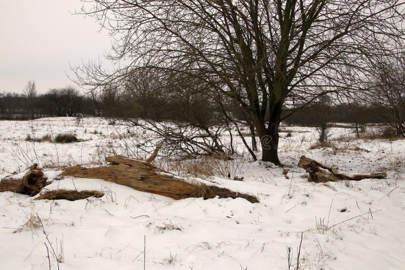 Árbol vivo y muerto en la nieve foto de archivo libre de regalías