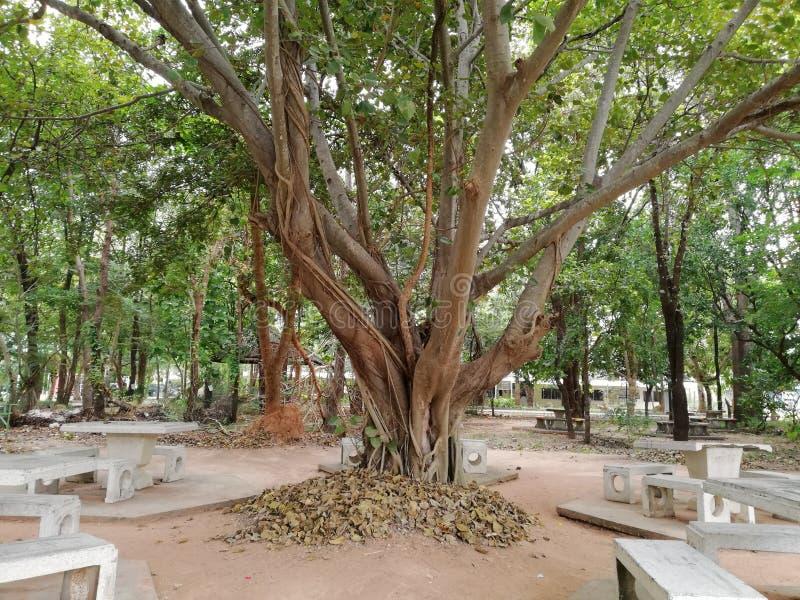 Árbol y banco del pho de Tailandia imagenes de archivo