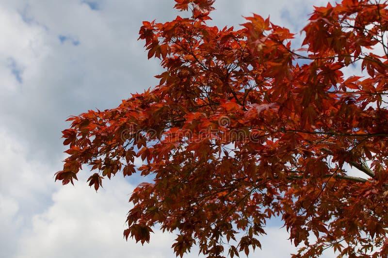Árbol y cielo rojos con las nubes fotografía de archivo libre de regalías