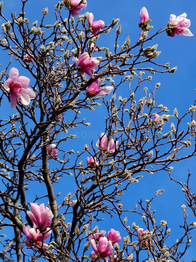 Árbol y flores de la magnolia imagenes de archivo