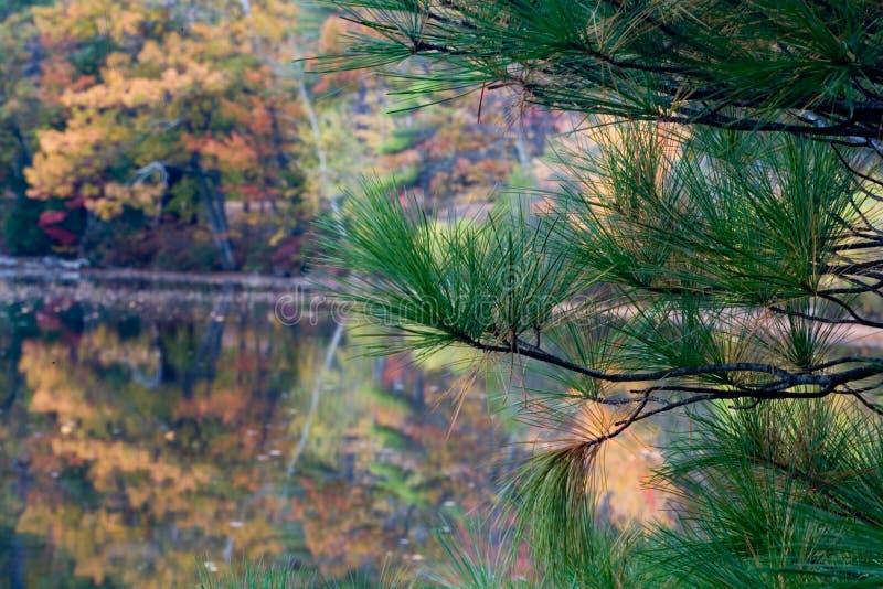 Árbol y follaje de pino imagen de archivo