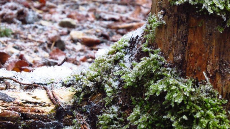 Árbol y hojas en invierno, Fussen, Alemania fotos de archivo