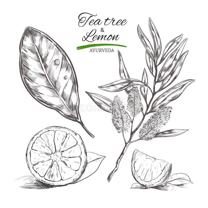 Árbol y limón de la camiseta Colección dibujada mano del vector Hierbas y flores naturales Belleza y Ayurveda Cosméticos orgánico ilustración del vector