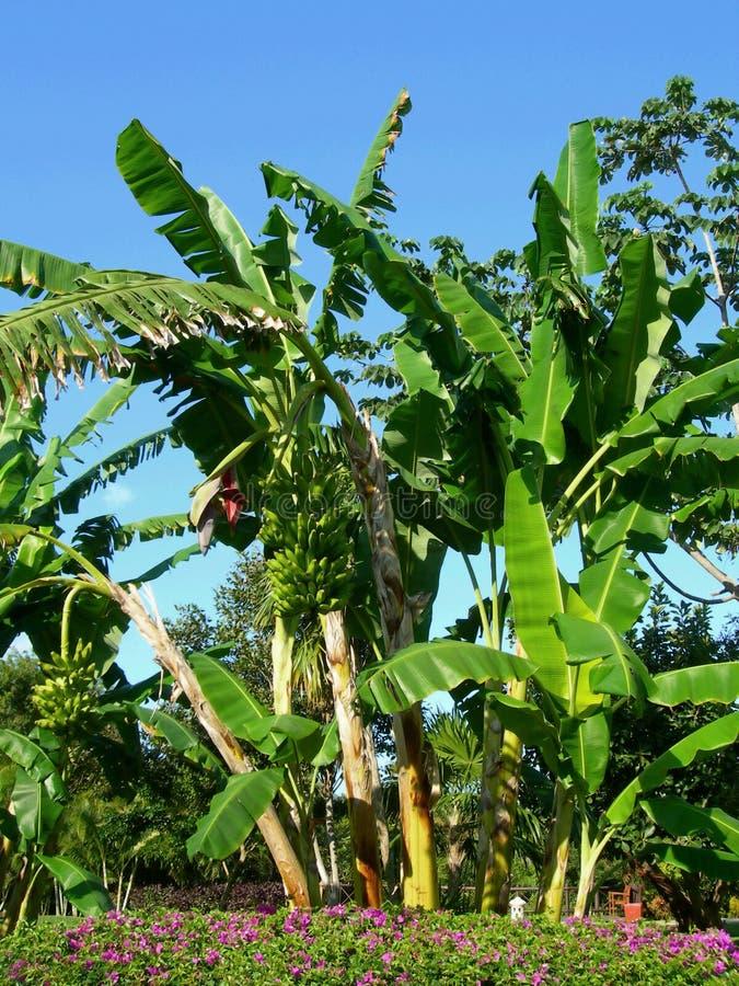 Árbol y manojo de plátano fotografía de archivo libre de regalías
