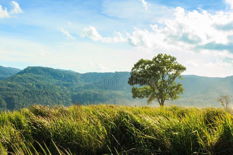 Árbol y prado en la montaña del phu-lom-lo, Loei, Tailandia imágenes de archivo libres de regalías