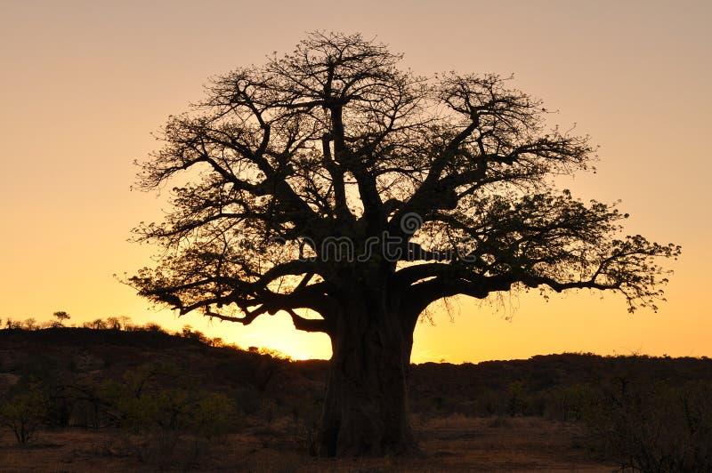 Árbol y puesta del sol del baobab foto de archivo libre de regalías
