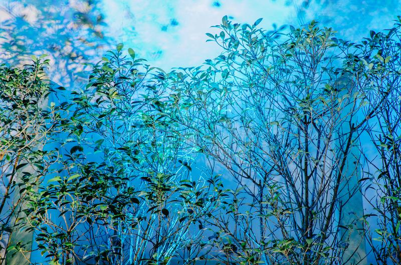 Árbol y sombra negra borrosa de hojas del árbol en la pared superficial azul del cemento de hormigón del color en fondo fotos de archivo libres de regalías