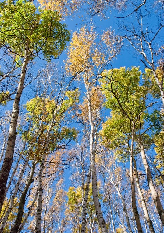 Árboles altos con las hojas amarillas bajo el cielo azul imagenes de archivo
