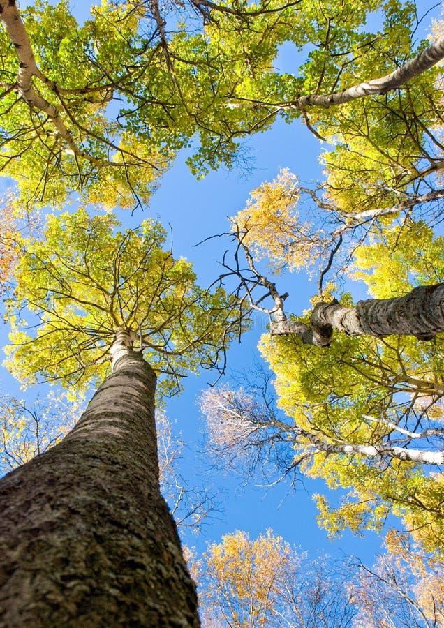 Árboles altos con las hojas amarillas bajo el cielo azul fotos de archivo libres de regalías