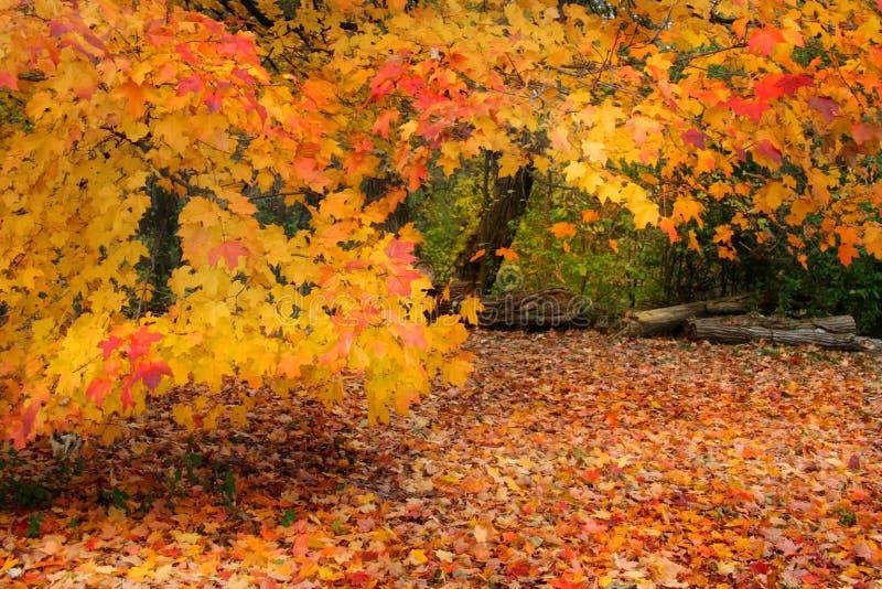 Árboles anaranjados fotografía de archivo libre de regalías