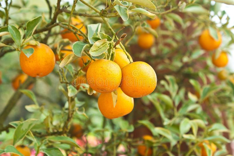 Árboles anaranjados con las frutas en la plantación imágenes de archivo libres de regalías
