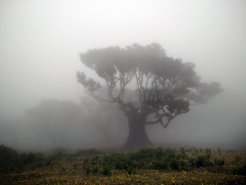 Árboles antiguos del laurel de bahía en niebla foto de archivo libre de regalías