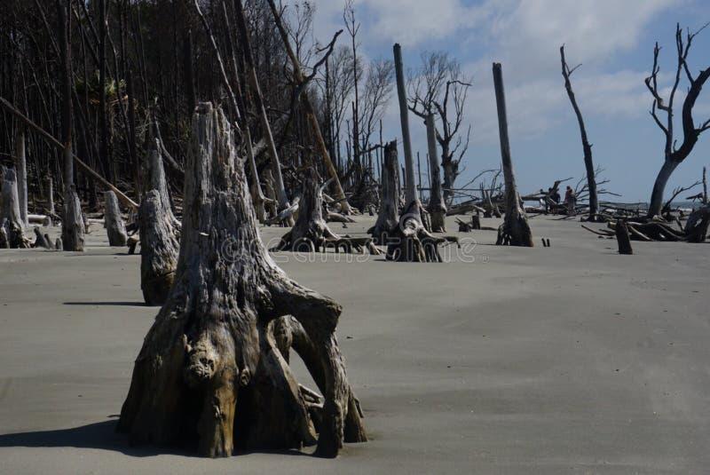 Árboles aterrorizados en la playa de Boneyard en la isla Carolina del Sur de las alcaparras fotografía de archivo
