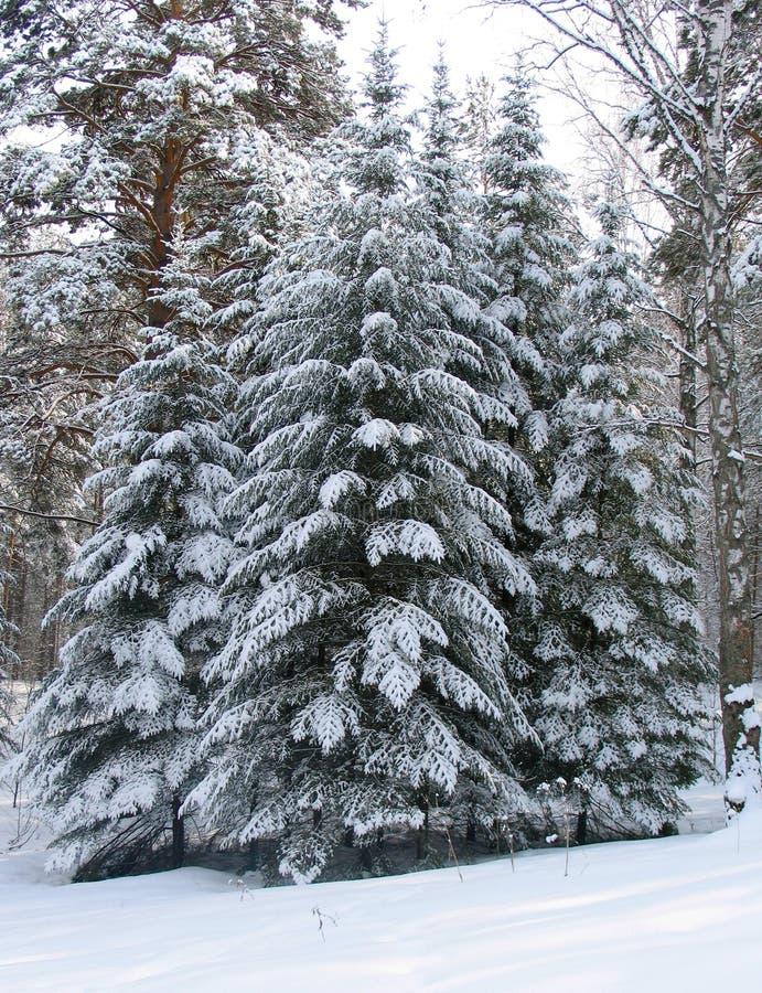 Árboles bajo la nieve foto de archivo