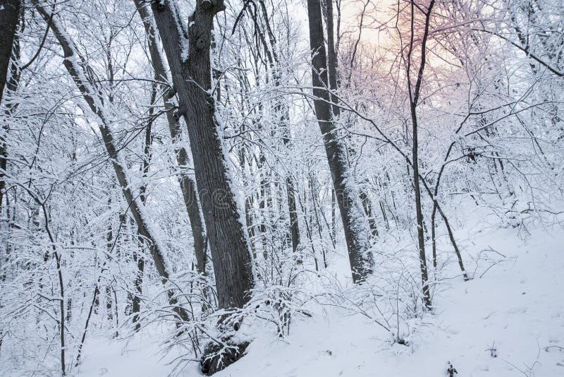 Árboles blancos y luz del sol en niebla Día nevoso reservado en un paisaje del invierno de la calma del bosque foto de archivo libre de regalías