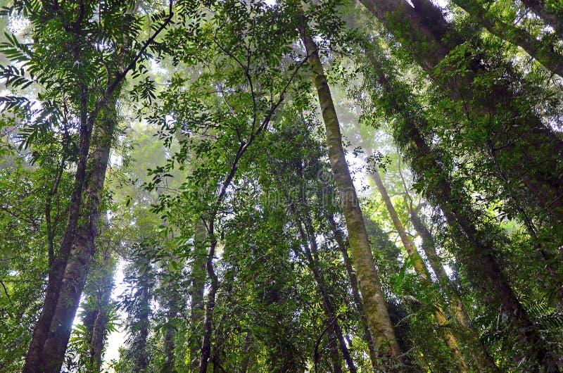 Árboles brumosos de la selva tropical fotos de archivo libres de regalías