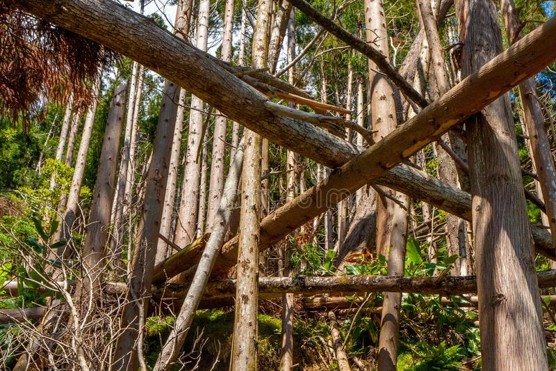 Árboles caidos en bosque conífero fotografía de archivo libre de regalías