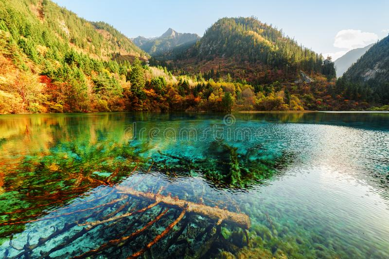 Árboles caidos sumergidos en el agua azul del lago cinco flower imágenes de archivo libres de regalías
