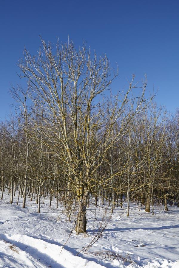 Árboles calvos en un snowscape fotografía de archivo