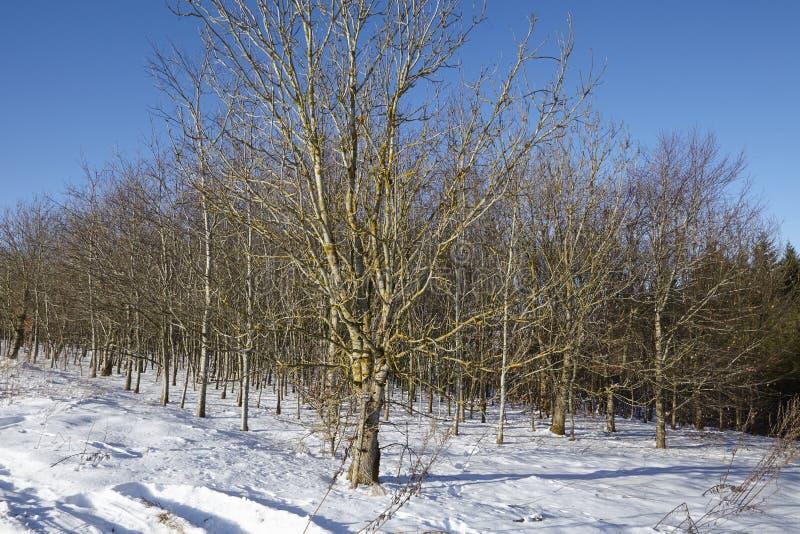 Árboles calvos en un snowscape imágenes de archivo libres de regalías
