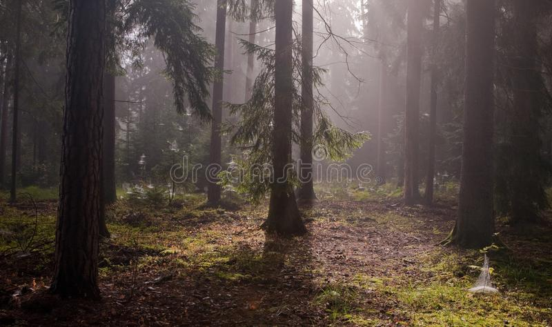 Árboles coníferos contra luz de la salida del sol brumosa fotos de archivo libres de regalías