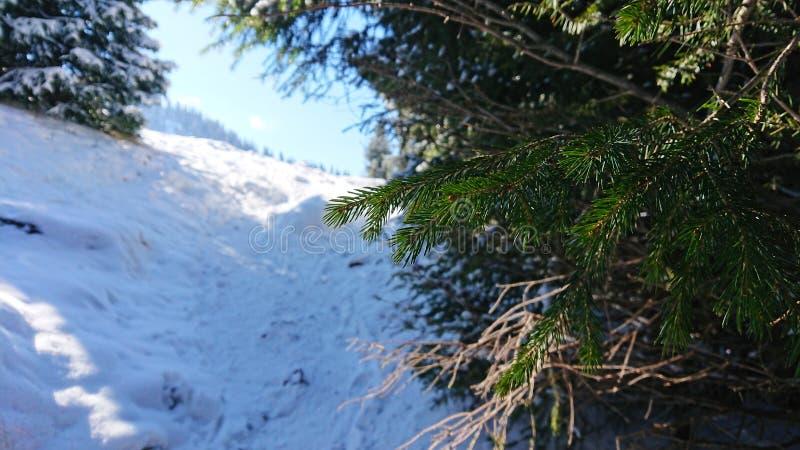 Árboles coníferos de la fotografía macra debajo de la nieve Cuesta blanca Cielo azul foto de archivo libre de regalías
