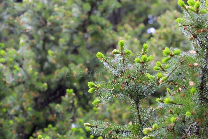 Árboles coníferos de la primavera blanda con el fondo verde fotografía de archivo libre de regalías