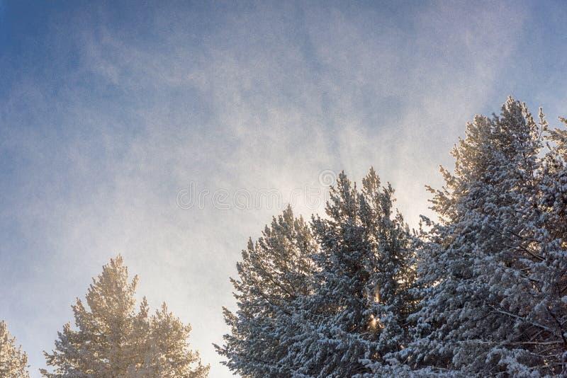 Árboles coníferos nevados en el clima tempestuoso, sol detrás de árboles fotos de archivo libres de regalías