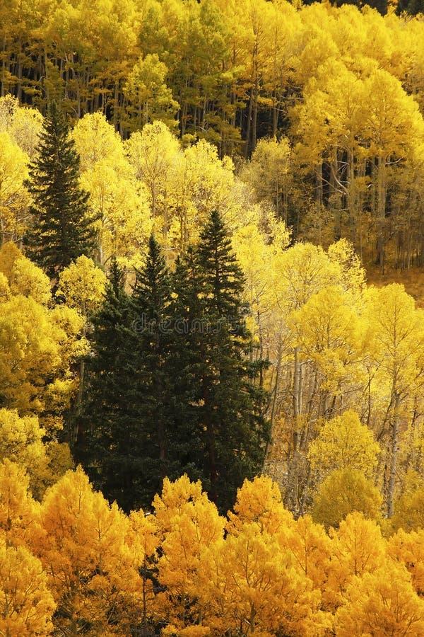 Árboles con color de la caída, San Juan National Forest, Colorado de Aspen imagen de archivo