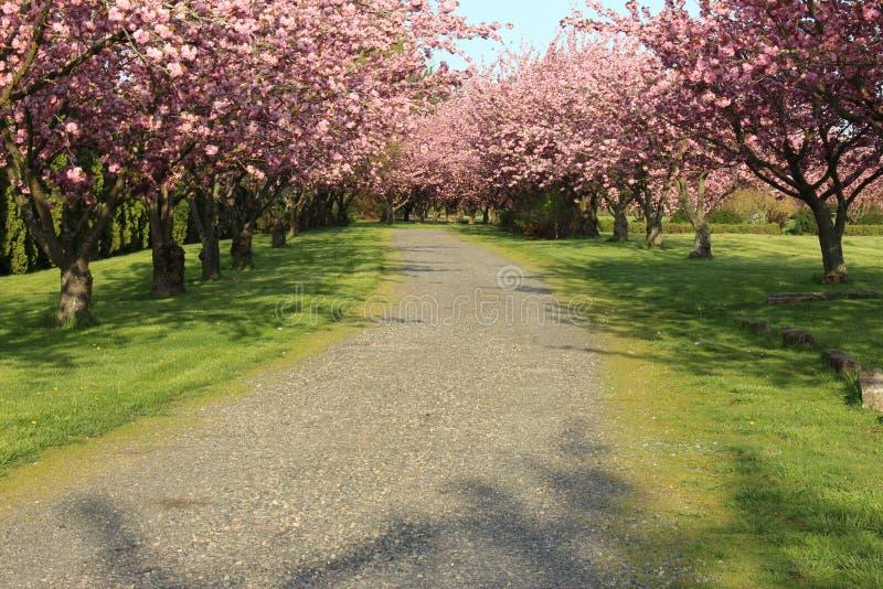 Árboles con la plena floración en primavera imagen de archivo libre de regalías