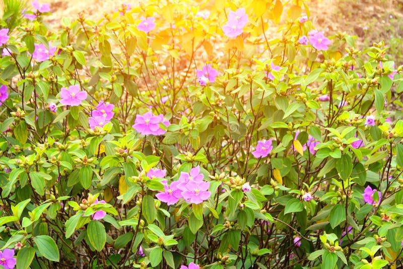 Árboles con las flores púrpuras en la montaña foto de archivo