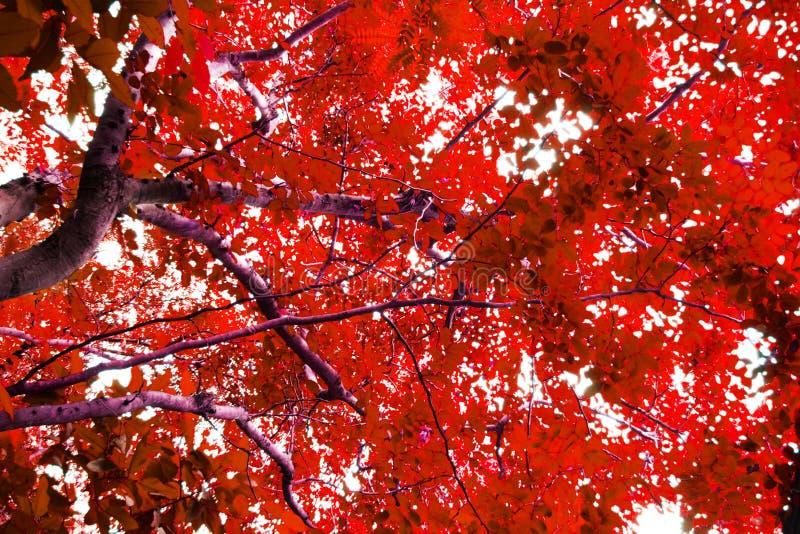 Árboles con las hojas rojas imagen de archivo