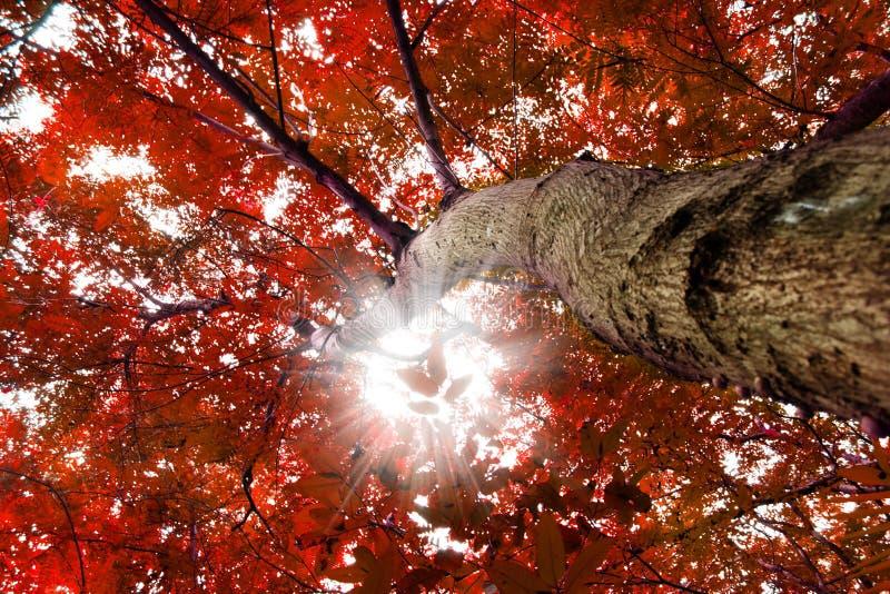 Árboles con las hojas rojas fotos de archivo