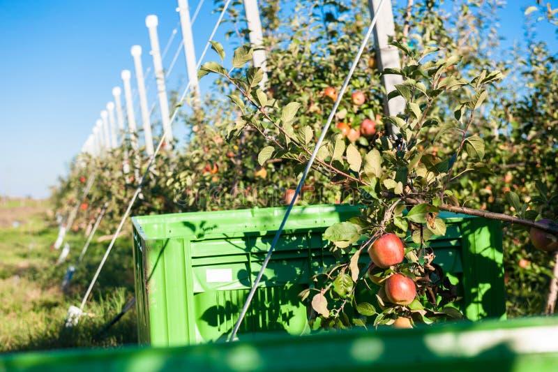 Árboles con las manzanas rojas maduras imágenes de archivo libres de regalías