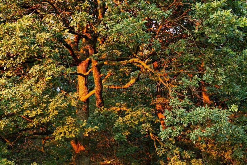 Árboles con las ramas coloreadas a de oro en tiempo de la puesta del sol foto de archivo