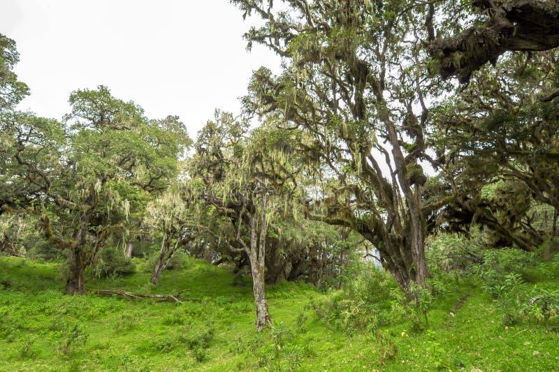 Árboles con los liquenes y epiphytes en la selva tropical de la montaña de Tanzania fotos de archivo