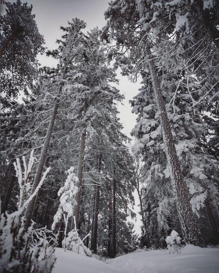 Árboles congelados del invierno del más forrest escandinavo fotografía de archivo libre de regalías