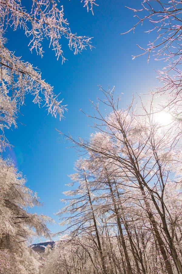 Árboles congelados en invierno con el cielo azul fotografía de archivo libre de regalías
