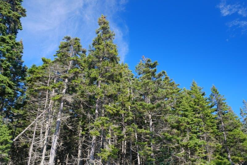 Árboles costeros de Maine Pine que crecen en una arboleda de la playa imagenes de archivo