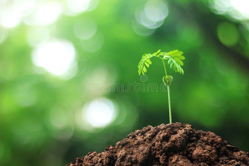 Árboles crecientes de las semillas crecidas en la tierra en medio del fondo natural Árbol verde de las hojas del brote en el conc imágenes de archivo libres de regalías