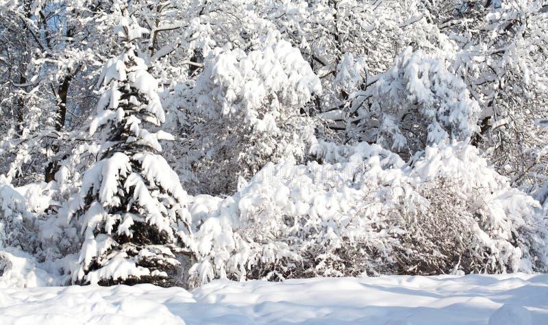 Árboles cubiertos con la nieve, paisaje del bosque del invierno después del nevadas pesadas Escena hermosa del tiempo frío, día s foto de archivo