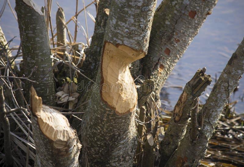 Árboles dañados por el castor imágenes de archivo libres de regalías