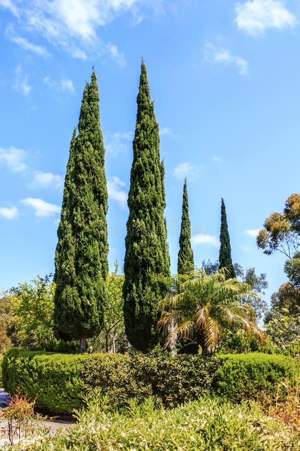 Árboles de álamo acolumnados en el campus de la Universidad de California, San Diego UCSD imagen de archivo libre de regalías