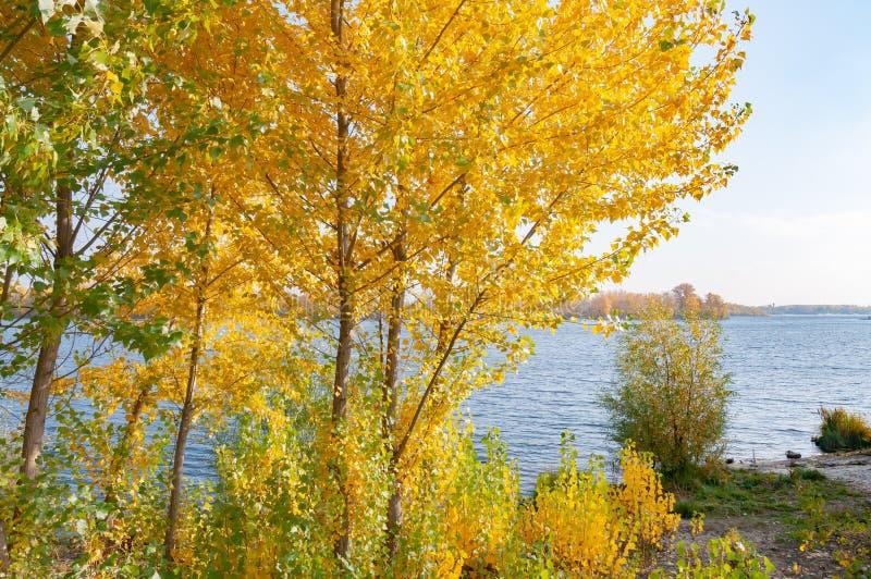 Árboles de álamo con las hojas amarillas y anaranjadas cerca del río, en otoño fotos de archivo libres de regalías