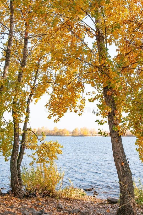 Árboles de álamo con las hojas amarillas y anaranjadas cerca del río, en otoño imágenes de archivo libres de regalías