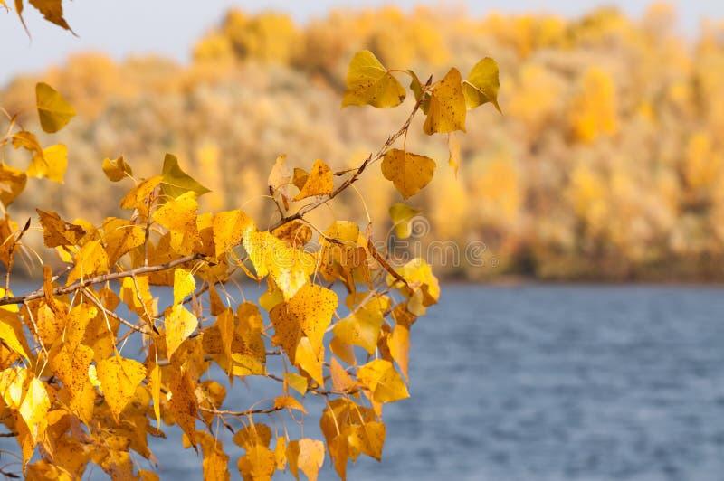 Árboles de álamo con las hojas amarillas y anaranjadas cerca del río, en otoño fotografía de archivo libre de regalías