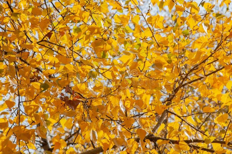 Árboles de álamo con las hojas amarillas y anaranjadas cerca del río, en otoño fotos de archivo