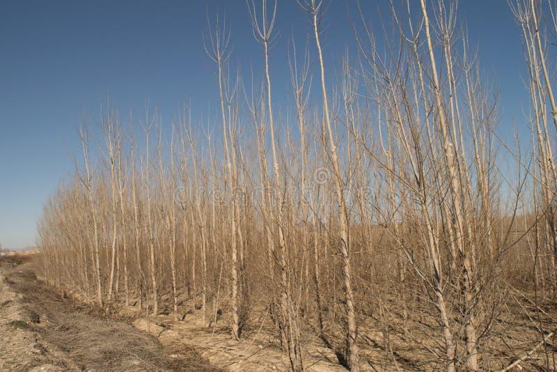 Árboles de álamo en invierno con el cielo azul, aire fresco, sol, soleado fotos de archivo