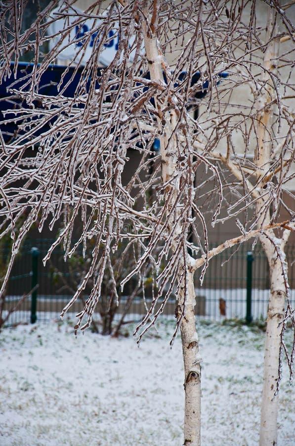 Árboles de abedul blanco cubiertos con la corteza del hielo fotos de archivo