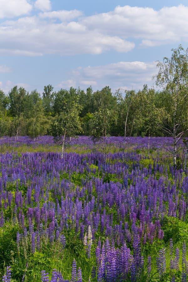 Árboles de abedul blanco jovenes en el medio de un césped con el lupine azul, que emite azul de ultramar El lugar ama el ojo fotos de archivo libres de regalías